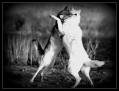 two-wolves1.jpg