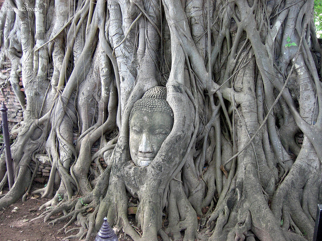 Buddha Head in Pepal tree