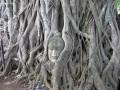 Buddha Head in Pepal tree