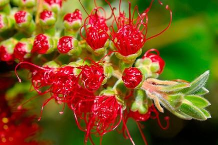 लाल फूल वालापेड़