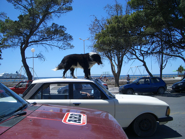 dog on car