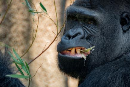 शाकाहारी होने पर भी बंदरों और कपियों के दांत मांसाहारियों जंतुओं जैसे क्यों होतेहैं?