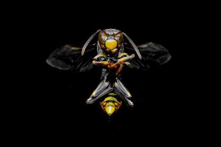 कीड़ों की कुछ प्रजातियों की मादा समागम के बाद नर को क्यों खा जातीहै?