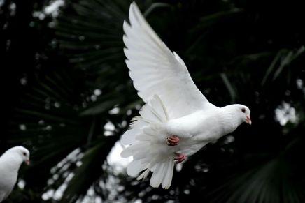 संदेशवाहक कबूतर कैसे जानते हैं कि उन्हें कहां जानाहै?